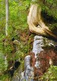 Λεπτομέρεια στον παλαιό κορμό δέντρων σε ένα δάσος βουνών Στοκ Εικόνα
