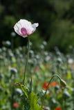 Λεπτομέρεια της άσπρος-ιώδους παπαρούνας (papaver - somniferum) Στοκ εικόνα με δικαίωμα ελεύθερης χρήσης