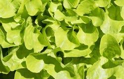 Λεπτομέρεια της φρέσκιας πράσινης σαλάτας Στοκ Εικόνα