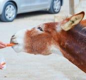 Λεπτομέρεια του άγριου κεφαλιού γαιδάρων που λαμβάνεται με ένα ανθρώπινο χέρι που ταΐζει το ζώο με τα καρότα Λήφθείτε σε Dipkarpa στοκ εικόνες με δικαίωμα ελεύθερης χρήσης