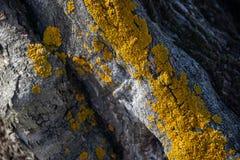 Λεπτομέρεια του αρχαίου κορμού ελιών στοκ εικόνα με δικαίωμα ελεύθερης χρήσης