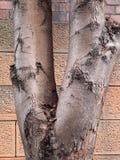 Λεπτομέρεια του δέντρου με το ραγισμένο φλοιό στοκ εικόνες με δικαίωμα ελεύθερης χρήσης
