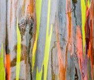Λεπτομέρεια του ζωηρόχρωμου φλοιού του δέντρου ευκαλύπτων ουράνιων τόξων Στοκ Εικόνες