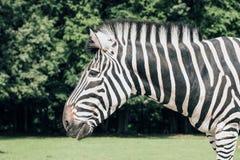 Λεπτομέρεια του κεφαλιού και του λαιμού Zebras Στοκ Εικόνες