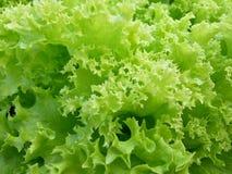 Λεπτομέρεια του μαρουλιού Lollo Verde - πράσινο σγουρό μαρούλι Στοκ Εικόνες