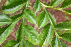 Λεπτομέρεια του πράσινου konjac φύλλου (amorphophallus) Στοκ Εικόνα