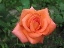 Λεπτομέρεια του ροδαλού λουλουδιού από τον κήπο στοκ φωτογραφίες