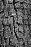 Λεπτομέρεια του δρύινου φλοιού δέντρων Στοκ εικόνες με δικαίωμα ελεύθερης χρήσης