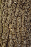 Λεπτομέρεια του δρύινου φλοιού δέντρων Στοκ φωτογραφίες με δικαίωμα ελεύθερης χρήσης