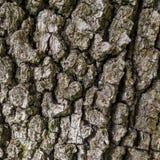 Λεπτομέρεια του δρύινου φλοιού δέντρων Στοκ Εικόνες