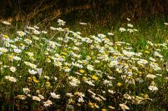 Λεπτομέρεια του τομέα της Daisy σε μια ημέρα της άνοιξης Στοκ φωτογραφία με δικαίωμα ελεύθερης χρήσης