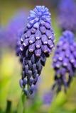 Λεπτομέρεια του υάκινθου σταφυλιών στην άνθιση σε έναν κήπο Στοκ Εικόνα