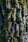 Λεπτομέρεια του φλοιού δέντρων Στοκ φωτογραφία με δικαίωμα ελεύθερης χρήσης