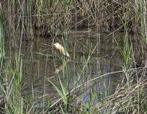 Λεπτομέρεια του χρυσού ερωδιού (ardeola ralloides) Στοκ φωτογραφία με δικαίωμα ελεύθερης χρήσης