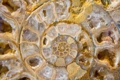 Λεπτομέρεια του Ammonites απολιθώματος Στοκ Εικόνες