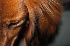 Λεπτομέρεια του dachshund στοκ φωτογραφία