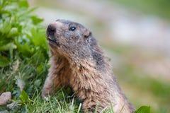 Λεπτομέρεια του marmotte στη χλόη, Άλπεις της Ελβετίας Στοκ Εικόνα