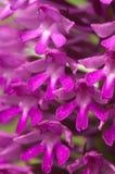 Λεπτομέρεια των άγριων πυραμιδικών λουλουδιών ορχιδεών - pyramidalis Anacamptis Στοκ Φωτογραφία