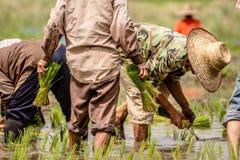 Λεπτομέρεια των αγροτών που μεταμοσχεύουν τα σπορόφυτα ρυζιού στον τομέα ορυζώνα Στοκ Φωτογραφίες