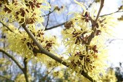 Λεπτομέρεια των κίτρινων λουλουδιών του Hamamelis Mollis Στοκ Εικόνες