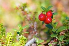 Λεπτομέρεια των κόκκινων μούρων στο δάσος Στοκ Εικόνες