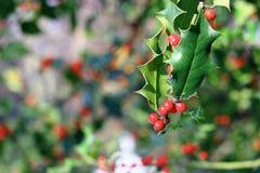Κόκκινα μούρα aquifolium Ilex Στοκ φωτογραφία με δικαίωμα ελεύθερης χρήσης