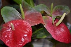 Λεπτομέρεια των κόκκινων anthurium λουλουδιών Στοκ Εικόνες