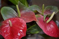 Λεπτομέρεια των κόκκινων anthurium λουλουδιών Στοκ εικόνες με δικαίωμα ελεύθερης χρήσης