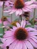 Λεπτομέρεια των λουλουδιών Echinacea άνοιξη Στοκ φωτογραφία με δικαίωμα ελεύθερης χρήσης