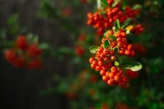Λεπτομέρεια των πορτοκαλιών μούρων Pyracantha (Firethorn) Στοκ εικόνα με δικαίωμα ελεύθερης χρήσης