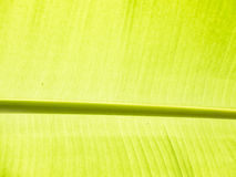 Λεπτομέρεια φύλλων μπανανών Στοκ Φωτογραφίες