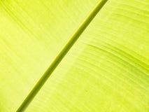 Λεπτομέρεια φύλλων μπανανών Στοκ Εικόνες