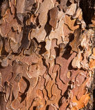 Λεπτομέρεια φλοιών κορμών δέντρων πεύκων στο μεγάλο φαράγγι Αριζόνα Στοκ φωτογραφία με δικαίωμα ελεύθερης χρήσης