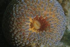 Λεπτομέρεια anemone περιπλάνησης Στοκ φωτογραφίες με δικαίωμα ελεύθερης χρήσης