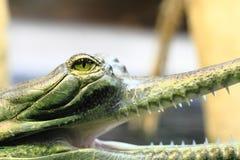 Λεπτομέρεια Gavial (μικρό σαν αλλιγάτορας κεφάλι) Στοκ φωτογραφία με δικαίωμα ελεύθερης χρήσης
