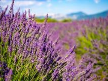 Λεπτομέρεια lavenders Στοκ φωτογραφίες με δικαίωμα ελεύθερης χρήσης