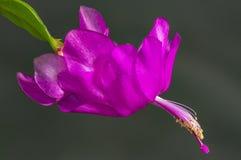 Λεπτομέρειες ενός όμορφου ιώδης-πορφυρού διπλού λουλουδιού ενός κάκτου Schlumbergera 2 διακοπών στοκ εικόνα με δικαίωμα ελεύθερης χρήσης
