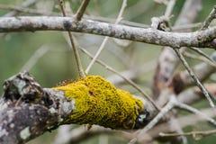 Λεπτομέρειες σύστασης του ξηρού βρύου στους κλάδους δέντρων στο υπόβαθρο στοκ φωτογραφία