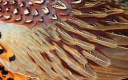 Λεπτομέρειες του κοινού φτερώματος φασιανών (colchicus Phasianus) Στοκ Εικόνες