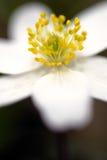 Λεπτομέρειες του ξύλινου anemone Στοκ φωτογραφίες με δικαίωμα ελεύθερης χρήσης