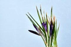 Λεπτομέρειες των ανθίζοντας λουλουδιών κρόκων Στοκ Εικόνες