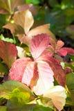 Λεπτομέρειες των πολύχρωμων φύλλων του parthenocissus το φθινόπωρο Στοκ Εικόνες