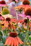 Λεπτομέρειες των ροδαλών μικτών λουλουδιών στον κήπο με τη μαλακή εστίαση υποβάθρου Στοκ Φωτογραφίες