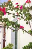 Λεπτομέρειες των ρόδινων λουλουδιών ενάντια στα παραδοσιακά ελληνικά σπίτια στην πλάτη στοκ φωτογραφία