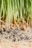 Λεπτομέρειες Wheatgrass των ριζών, των σπόρων και του υγιούς ώριμου νεαρού βλαστού Στοκ εικόνα με δικαίωμα ελεύθερης χρήσης