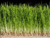 Λεπτομέρειες Wheatgrass των ριζών, των σπόρων και του υγιούς ώριμου νεαρού βλαστού Στοκ φωτογραφία με δικαίωμα ελεύθερης χρήσης