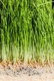 Λεπτομέρειες Wheatgrass των ριζών, των σπόρων και του υγιούς ώριμου νεαρού βλαστού Στοκ εικόνες με δικαίωμα ελεύθερης χρήσης