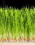 Λεπτομέρειες Wheatgrass των ριζών, των σπόρων και του υγιούς ώριμου νεαρού βλαστού Στοκ Εικόνα