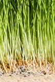 Λεπτομέρειες Wheatgrass των ριζών, των σπόρων και του υγιούς ώριμου νεαρού βλαστού Στοκ Φωτογραφίες
