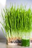 Λεπτομέρειες Wheatgrass των ριζών, των σπόρων, των νεαρών βλαστών και του υγιούς Juic Στοκ φωτογραφίες με δικαίωμα ελεύθερης χρήσης
